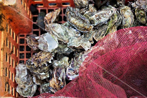 Oysters in a basket with a net