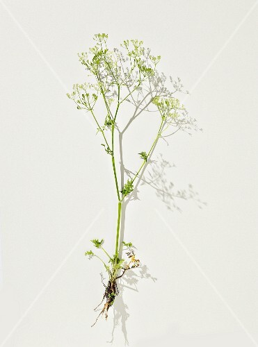 Wild carrots: a sprig of flowers on a white surface