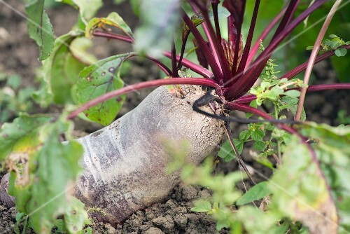 A beetroot in the ground