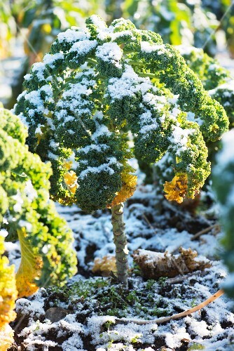 Kale (leaf cabbage) is frost-resistant.