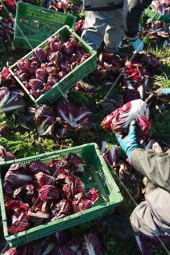 Radicchio di Treviso being harvested