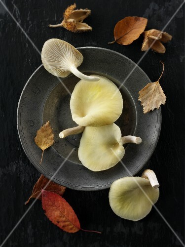 Fresh picked edible yellow or golden oyster mushrooms (Pleurotus citrinopileatus) against a black background