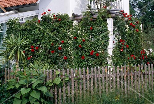 pergola eingewachsen mit wildem wein und roten kletterrosen bild kaufen friedrich strauss. Black Bedroom Furniture Sets. Home Design Ideas