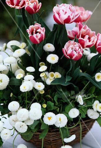 tulipa wirosa tulpen und bellis tausendsch n bild. Black Bedroom Furniture Sets. Home Design Ideas