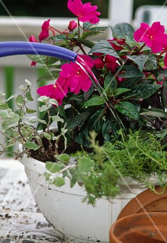 7 step neubepflanzung kr ftig angie en bild kaufen friedrich strauss gartenbildagentur. Black Bedroom Furniture Sets. Home Design Ideas
