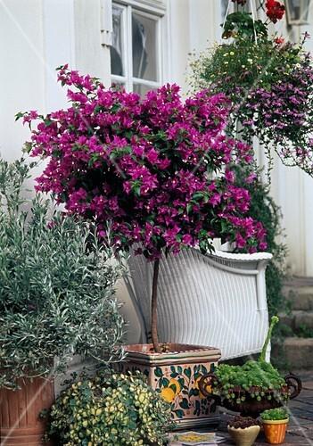 bougainvillea stamm convolvulus cneorum silberwinde bild kaufen friedrich strauss. Black Bedroom Furniture Sets. Home Design Ideas