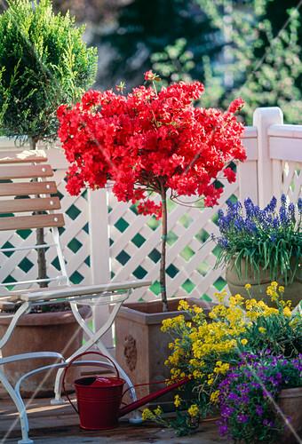 azalea hybr als st mmchen bild kaufen friedrich strauss gartenbildagentur. Black Bedroom Furniture Sets. Home Design Ideas