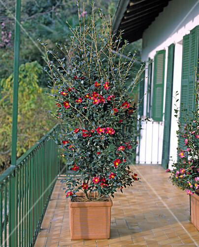 camellia sasanqua hiruyu bild kaufen friedrich. Black Bedroom Furniture Sets. Home Design Ideas