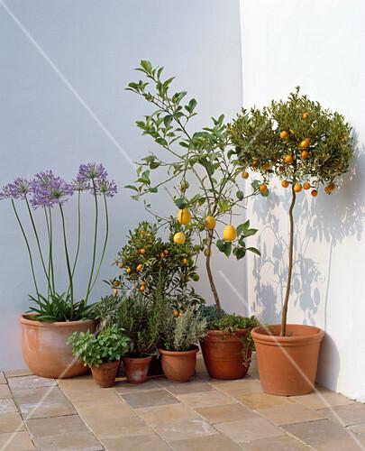 agapanthus citrus sinensis citrus x mitis bild kaufen. Black Bedroom Furniture Sets. Home Design Ideas