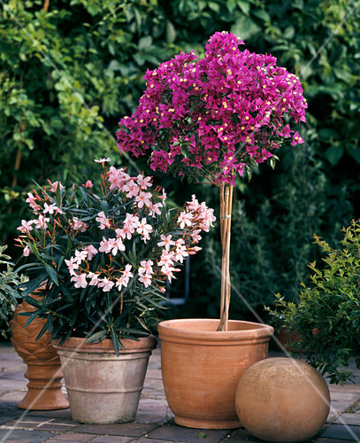 bougainvillea glabra nerium oleander bild kaufen friedrich strauss gartenbildagentur. Black Bedroom Furniture Sets. Home Design Ideas