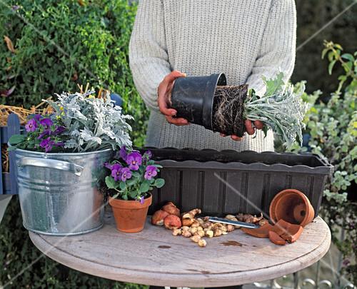 3 step herbstblumen vor dem einsetzen austopfen bild. Black Bedroom Furniture Sets. Home Design Ideas