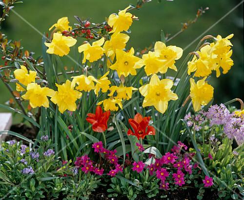 narcissus myosotis primula pruhoniciana wanda tulipa praestans bild kaufen friedrich. Black Bedroom Furniture Sets. Home Design Ideas