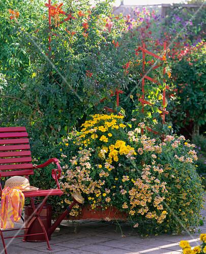 nemesia sunsatia mango elfenspiegel tagetes patula. Black Bedroom Furniture Sets. Home Design Ideas