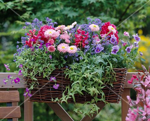 bellis tausendsch n hyacinthus jan bos hyazinthen. Black Bedroom Furniture Sets. Home Design Ideas