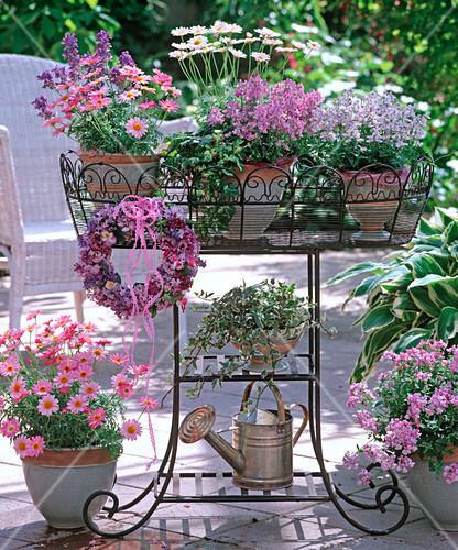argyranthemum strawberry pink white bush. Black Bedroom Furniture Sets. Home Design Ideas