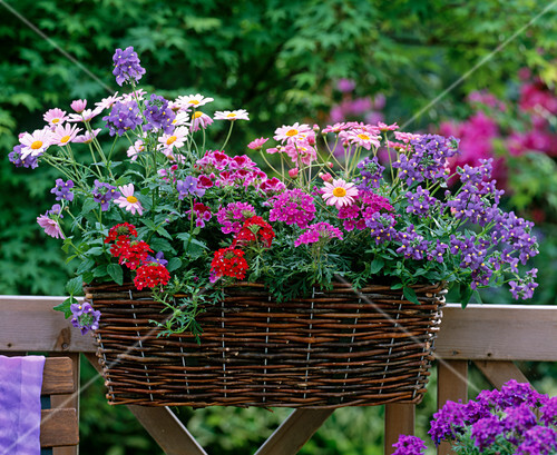 nemesia blue elfenspiegel argyranthemum pink. Black Bedroom Furniture Sets. Home Design Ideas