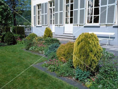 beet mit thuja orientalis aurea occidentalis danica lebensb ume zwischen stauden am. Black Bedroom Furniture Sets. Home Design Ideas