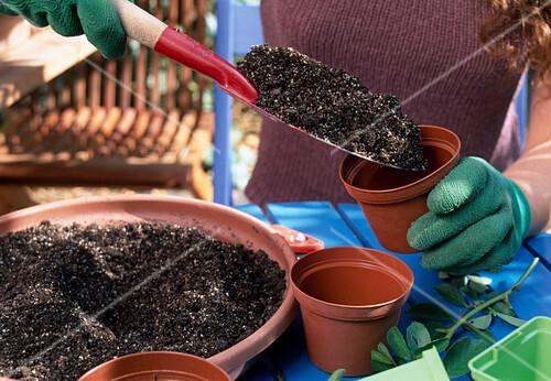 stecklingsvermehrung von rosen 2 step topf mit gemisch aus erde und sand f llen 2 7 bild. Black Bedroom Furniture Sets. Home Design Ideas