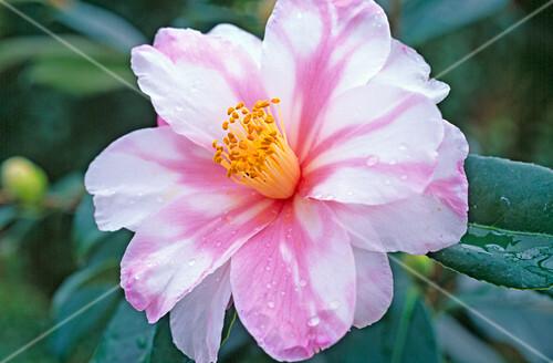 camellia sasanqua shibori egao bild kaufen friedrich. Black Bedroom Furniture Sets. Home Design Ideas