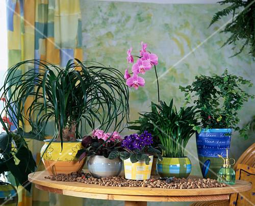 pflanzen in hydrokultur beaucarnea saintpaulia phalaenopsis bild kaufen friedrich strauss. Black Bedroom Furniture Sets. Home Design Ideas
