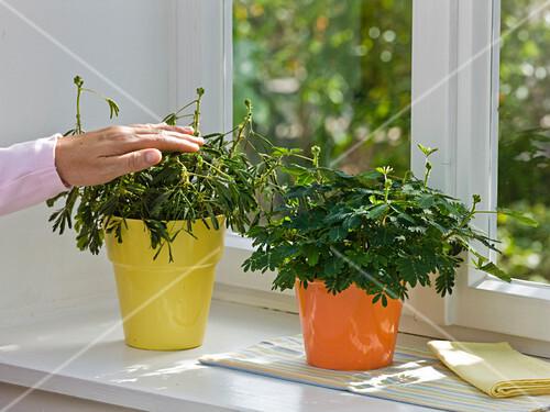 mimosa pudica mimose r hr mich nicht an bild kaufen. Black Bedroom Furniture Sets. Home Design Ideas
