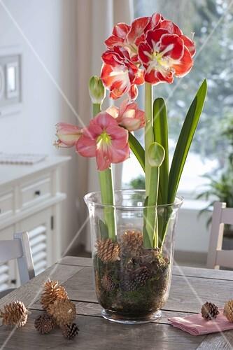 amaryllis in glas mit moos und zapfen antreiben bild kaufen friedrich strauss gartenbildagentur. Black Bedroom Furniture Sets. Home Design Ideas