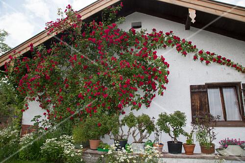 rosa sympathie kletterrose an der hauswand k bel mit. Black Bedroom Furniture Sets. Home Design Ideas