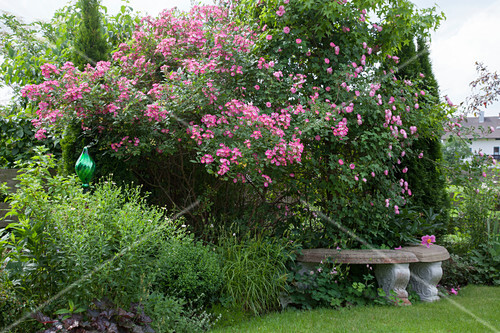 bl hende rosa strauch und kletterrosen vor laubgehoelzen und koniferen im schatten b nke aus. Black Bedroom Furniture Sets. Home Design Ideas