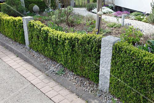 schmale hecke aus buxus buchs unterbrochen von granitstelen im vorgarten geschwungener weg. Black Bedroom Furniture Sets. Home Design Ideas