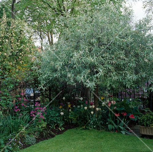 pyrus salicifolia pendula in the corner of a garden in. Black Bedroom Furniture Sets. Home Design Ideas