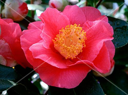 camellia barbara morgan kamelie makro bild kaufen. Black Bedroom Furniture Sets. Home Design Ideas