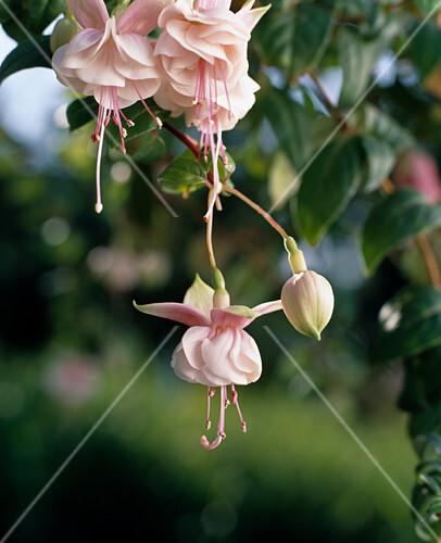 fuchsia rosa ampel bild kaufen friedrich strauss gartenbildagentur. Black Bedroom Furniture Sets. Home Design Ideas