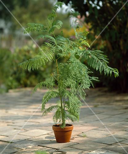 jacaranda mimosifolia palisanderbaum bild kaufen. Black Bedroom Furniture Sets. Home Design Ideas