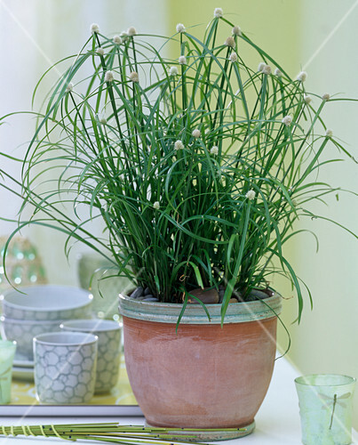 cyperus kyllinga alba zyperngras mit auff lligen bl ten bild kaufen friedrich strauss. Black Bedroom Furniture Sets. Home Design Ideas