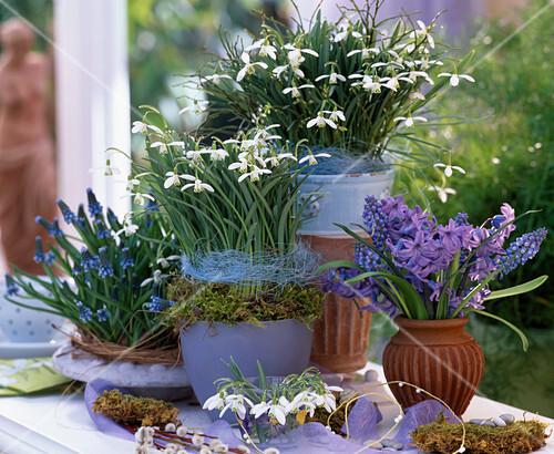 galanthus nivalis schneegl ckchen muscari armeniacum. Black Bedroom Furniture Sets. Home Design Ideas