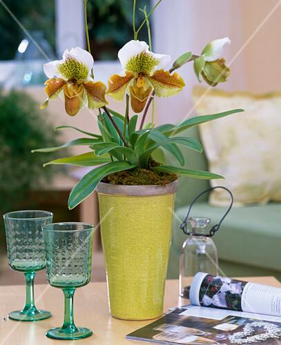paphiopedilum frauenschuh orchidee bild kaufen. Black Bedroom Furniture Sets. Home Design Ideas