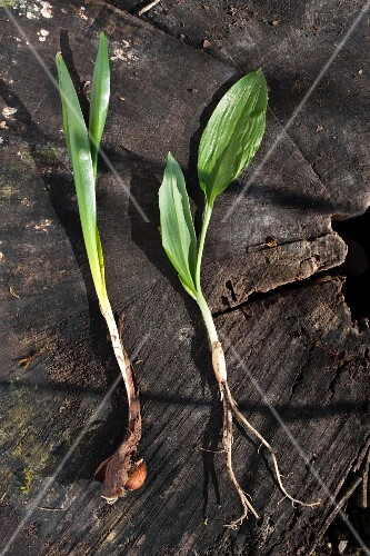 Confusion can be deadly: on the left, highly poisonous autumn crocus, on the right, wild garlic