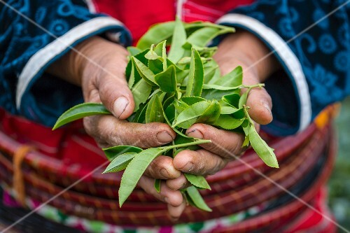 A woman from the Palung hill tribe holding freshly picked tea leaves (Chiang Mai, Thailand)