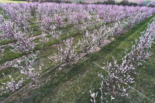 Flowering apricot trees in an orchard in Lower Austria