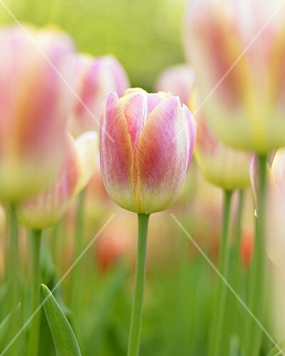 Tulips ('Wendy Love')
