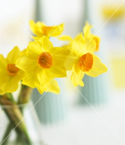 Yellow narcissi in vase (close-up)