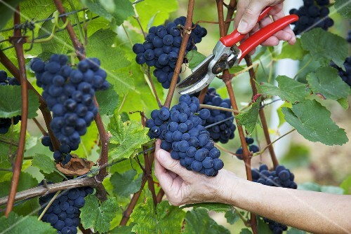 Picking Spätburgunder (Pinot noir) grapes, hand with secateurs, S. Palatinate, Germany