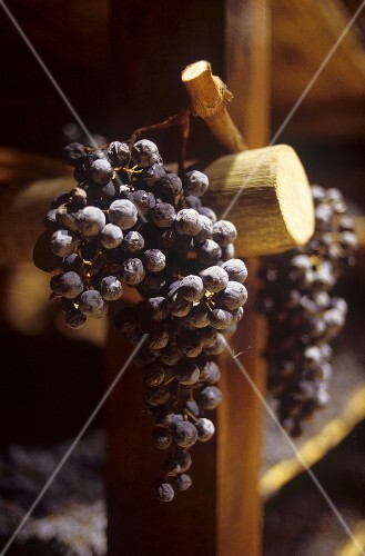 Grapes drying for Vin Santo,  Tuscany