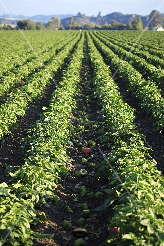 Pepper plants in the field