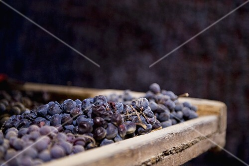 Red grapes drying for Amarone production