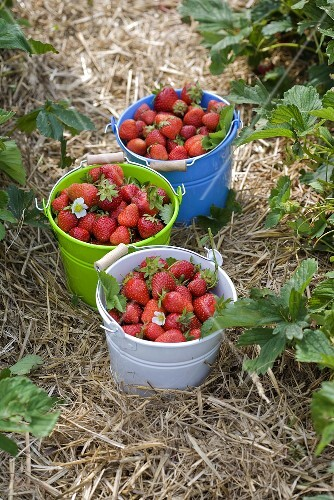 Three buckets of freshly picked strawberries in a strawberry field