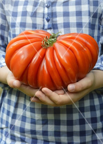 Person holding a huge Oxtail tomato