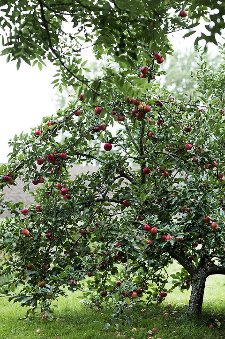 Apples - an All Time Favorite
