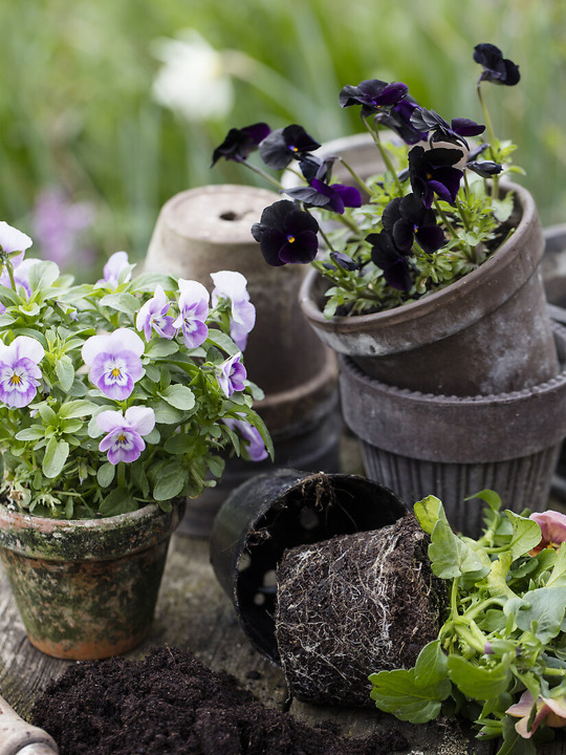 Springmoods with Pansies