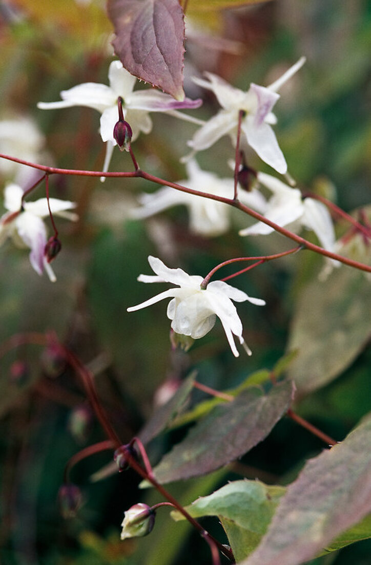 Epimedium - The Great Shade Plant